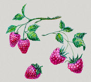 Watercolor set raspberries Stock Photos