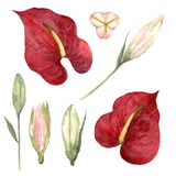 Watercolor set of red anthurium and pink lily buds on a white ba. Set of red anthurium and pink lily buds on a white background. Watercolor illustration vector illustration