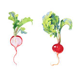 Watercolor set of ripe and whole radish with top. Painting root, leaf illustration on white background Royalty Free Stock Photos