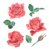 Watercolor set of roses 2. Hand drawing. Template for design of wedding cards. royalty free stock photo