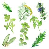 Watercolor set of spicy plants. Green condiments isolated on white background. Spicy herbs: Laurel, Basil, coriander, rosemary, vector illustration