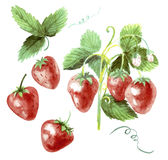 Watercolor set strawberry drawing. Strawberry on a white Stock Image