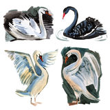 Watercolor set of Swan. Set of a birds Swan. Watercolor illustration in white background Royalty Free Stock Image