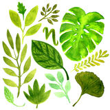 Watercolor set with tropical leaves. Vector element for your design. Watercolor leaves set. Tropical and gardening nature. Monstera and ginkgo decoration Royalty Free Stock Images