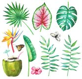 Set of tropical plants. Watercolor set of tropical palm, philodendron, coleus, strelitzia leaves and flowers, butterflies apollo and monarch and coconut cocktail Stock Image