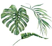 Watercolor set with tropical tree leaves. Hand painted monstera, banana and coconut greenery exotic branch on white. Background. Botanical illustration for royalty free illustration