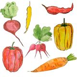 Watercolor set of vegetables. Bright types of red pepper, carrot. Vegetarian food vector illustration