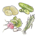Watercolor set of vegetables. Cucumber, onion, potato and radish. Hand-drawn watercolor food illustrations. Isolated drawings of the fresh vegetables Stock Photos
