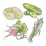 Watercolor set of vegetables. Cucumber, onion, potato and radish Stock Photos