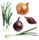 Watercolor set of vegetables. Onions. Vector Stock Photos