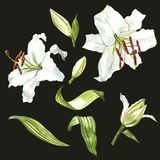 Watercolor set of white lilies, hand drawn botanical illustration of flowers on a dark background. Watercolor set of white lilies, hand drawn botanical Royalty Free Stock Images