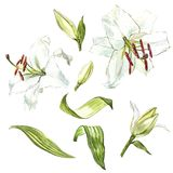 Watercolor set of white lilies, hand drawn botanical illustration of flowers isolated on a white background. Watercolor set of white lilies, hand drawn Stock Photography