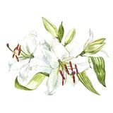 Watercolor set of white lilies, hand drawn botanical illustration of flowers isolated on a white background. Watercolor set of white lilies, hand drawn Stock Images