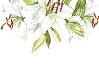 Watercolor set of white lilies, hand drawn botanical illustration of flowers isolated on a white background. Watercolor set of white lilies, hand drawn Royalty Free Stock Photography