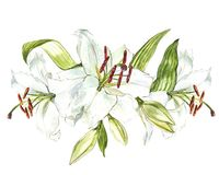Watercolor set of white lilies, hand drawn botanical illustration of flowers isolated on a white background. Watercolor set of white lilies, hand drawn Royalty Free Stock Images