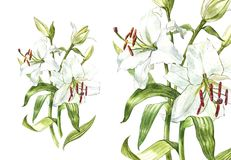Watercolor set of white lilies, hand drawn botanical illustration of flowers isolated on a white background. Watercolor set of white lilies, hand drawn Stock Image