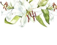 Watercolor set of white lilies, hand drawn botanical illustration of flowers isolated on a white background. Watercolor set of white lilies, hand drawn Royalty Free Stock Image