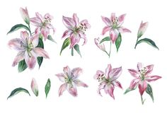 Watercolor set of white and pink lilies, hand drawn illustration of flowers isolated on a white background. stock illustration