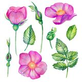 Watercolor set with wild rose