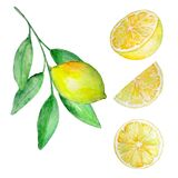 Watercolor set of lemon and slices. Watercolor set of yellow lemon on a branch with green leaves and three slices vector illustration