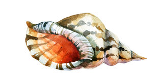 Watercolor Shell isolated on white background Stock Image