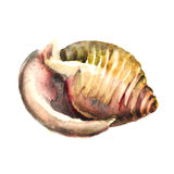 Watercolor Shell. Vector illustration  for your design Royalty Free Stock Images