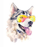 Watercolor siberian husky dog in cool sun glasses. Cute sheepdog on the rest. Beautiful alaskan cute pet. Unusual hand drawn illustration for fashion posters Royalty Free Stock Image