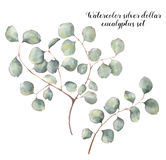 Watercolor silver dollar eucalyptus set. Hand painted floral illustration with round leaves and branches isolated on. White background. For design, print and stock illustration