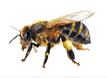 Watercolor single bee insect animal isolated Royalty Free Stock Image