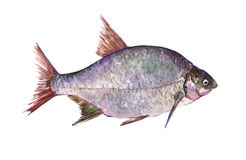 Watercolor single bream fish animal isolated. On a white background illustration Royalty Free Stock Images