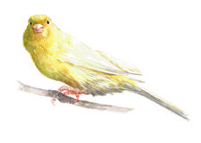 Watercolor single canary animal isolated. On a white background illustration Royalty Free Stock Photography