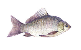 Watercolor single Crucian fish animal isolated. On a white background illustration Royalty Free Stock Photography