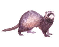 Watercolor single ferret animal. Isolated on a white background illustration Stock Photos