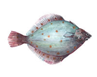Watercolor single flounder fish animal isolated. On a white background illustration Stock Photos
