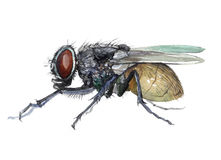 Watercolor single fly insect animal isolated Stock Photos