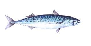 Watercolor single mackerel fish animal isolated Stock Photo