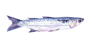 Watercolor single mullet fish animal isolated. On a white background illustration vector illustration