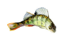 Watercolor single perch fish isolated Royalty Free Stock Photo