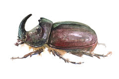 Watercolor single rhinoceros beetle insect. Animal isolated on a white background illustration Royalty Free Stock Image