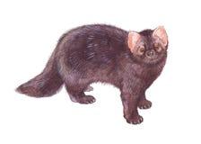 Watercolor single sable animal Royalty Free Stock Photo