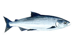 Watercolor single salmon fish isolated. On a white background illustration Stock Photo