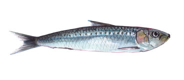 Watercolor single sardine fish animal isolated. On a white background illustration Royalty Free Stock Image
