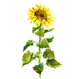 Watercolor single sunflower isolated royalty free illustration