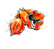 Watercolor sketch of guarana Royalty Free Stock Images