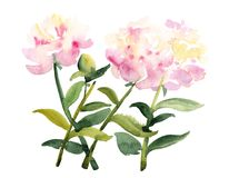 Watercolor sketch of pink peony flowers on white. Hand painted sketch, bunch of three pink peony flowers with stem and leaves, watercolor illustration  on white Royalty Free Stock Image