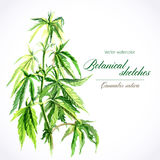 Watercolor sketch. Vector botanical watercolor sketches of Canabis sativa Royalty Free Stock Photo