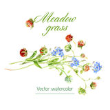 Watercolor sketch. Vector botanical watercolor sketches of wild grasses and flowers Stock Image