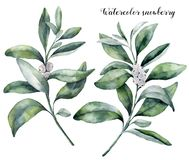 Watercolor snowberry set. Hand painted snowberry branch with white berry isolated on white background. Christmas royalty free illustration