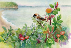 Watercolor sparrow on dog-rose. Watercolor technique with singing sparrow on branches of a blossoming dog-rose Stock Photos
