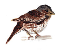 Watercolor Sparrow painting. Sparrow bird, painted by aquarelle Stock Image